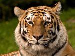 kissing bearded men tiger
